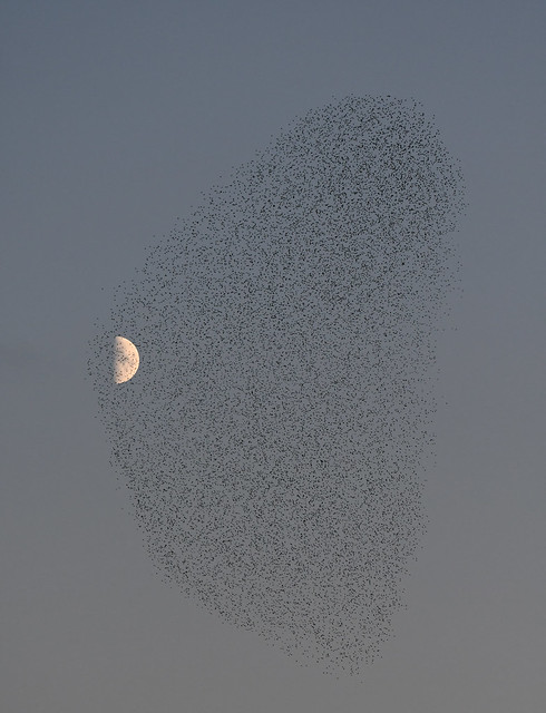 Starling Mumuration and the moon
