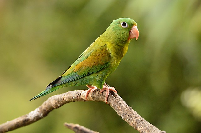 Orange-chinned parakeet (Brotogeris jugularis)