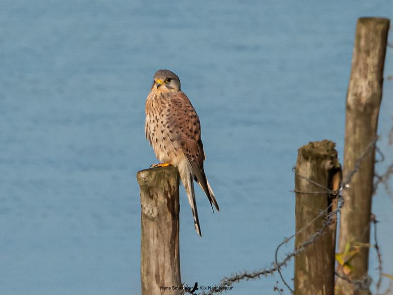 Torenvalk (Falco tinnunculus)-820_5956