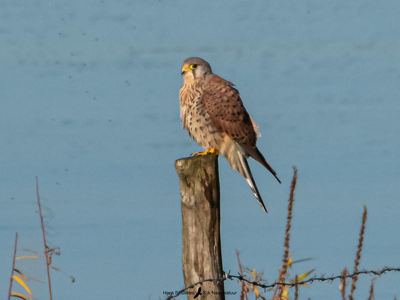 Torenvalk (Falco tinnunculus)-820_5950