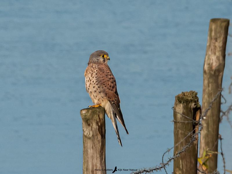 Torenvalk (Falco tinnunculus)-820_5955