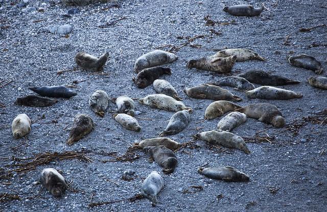 Basking Grey Seals, Mutton Cove, Godvrey Point, Cornwall