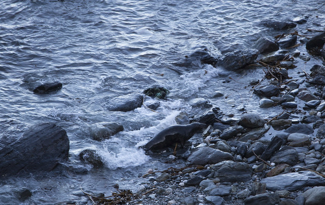 Beaching Grey Seal, Mutton Cove, Godvrey Point, Cornwall