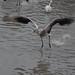 "<p><a href=""https://www.flickr.com/people/fberbers/"">Frank Berbers</a> posted a photo:</p>  <p><a href=""https://www.flickr.com/photos/fberbers/50637879563/"" title=""Grote flamingo (Phoenicopterus roseus) | GaiaZOO Kerkrade""><img src=""https://live.staticflickr.com/65535/50637879563_caf0bc84d2_m.jpg"" width=""160"" height=""240"" alt=""Grote flamingo (Phoenicopterus roseus) | GaiaZOO Kerkrade"" /></a></p>  <p>D56_0945</p>"