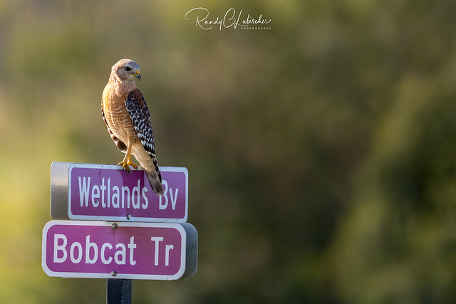 Red-shouldered Hawk | Buteo lineatus | 2020 - 4