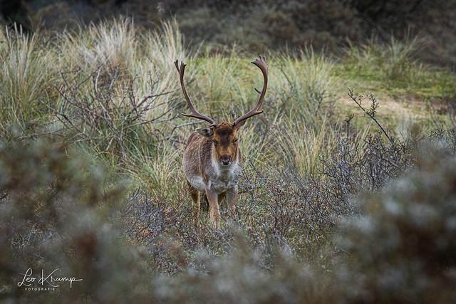 Let's play - Fallow Deer | Damhert