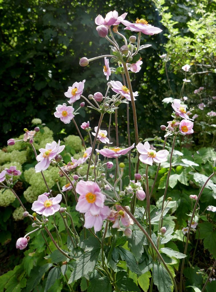 Au jardin, anémones du Japon (Anemone Hupehensis), Bosdarros, Béarn, Pyrénées Atlantiques, Nouvelle-Aquitaine, France.