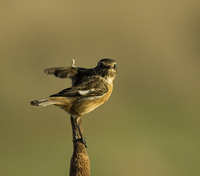 Stonechat (f) from our dog walk on Tealham Moor