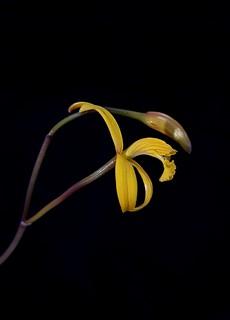 Cattleya hoehnei