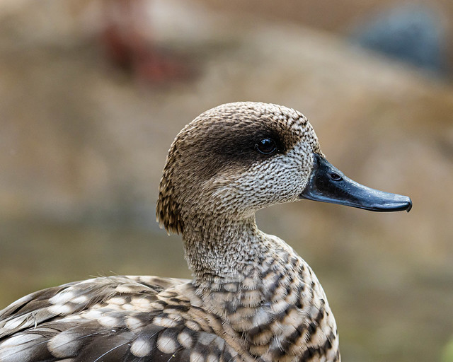 Marbled Teal Profile