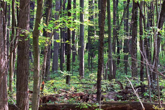 Silent Woodland