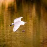 Cattle egret-Garcilla Bueyera-Bubulcus Ibis