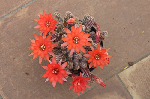 Echinopsis chamaecereus (Chamaecereus sylvestrii)