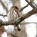 The same pygmy owl