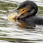 Cormorant with a mouthful (Pike)