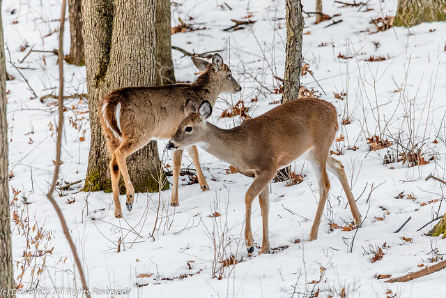White-Tailed Deer #1 - 2020-02-23
