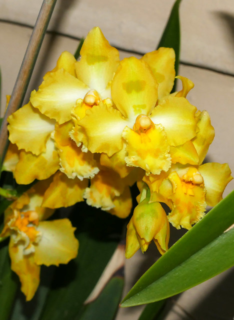 Oncidium George McMahon hybrid orchid 11-20