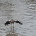 "<p><a href=""https://www.flickr.com/people/fberbers/"">Frank Berbers</a> posted a photo:</p>  <p><a href=""https://www.flickr.com/photos/fberbers/50638626636/"" title=""Grote flamingo (Phoenicopterus roseus) | GaiaZOO Kerkrade""><img src=""https://live.staticflickr.com/65535/50638626636_de969724d7_m.jpg"" width=""160"" height=""240"" alt=""Grote flamingo (Phoenicopterus roseus) | GaiaZOO Kerkrade"" /></a></p>  <p>D56_0946</p>"