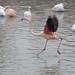 "<p><a href=""https://www.flickr.com/people/fberbers/"">Frank Berbers</a> posted a photo:</p>  <p><a href=""https://www.flickr.com/photos/fberbers/50638712642/"" title=""Grote flamingo (Phoenicopterus roseus) | GaiaZOO Kerkrade""><img src=""https://live.staticflickr.com/65535/50638712642_50be0cb4e4_m.jpg"" width=""160"" height=""240"" alt=""Grote flamingo (Phoenicopterus roseus) | GaiaZOO Kerkrade"" /></a></p>  <p>D56_0944</p>"