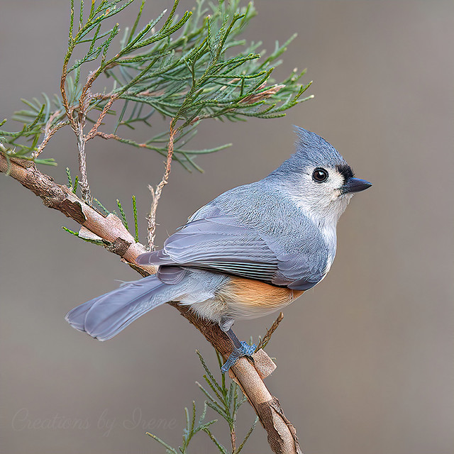 Tufted Titmouse Bird