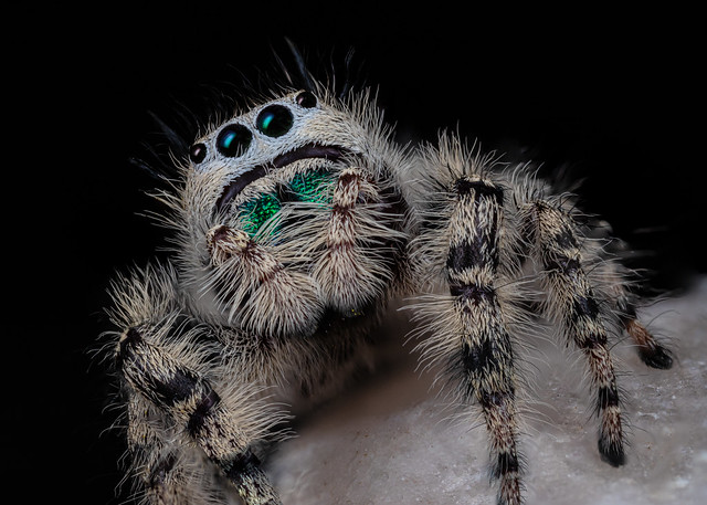Canopy Jumping Spider 2