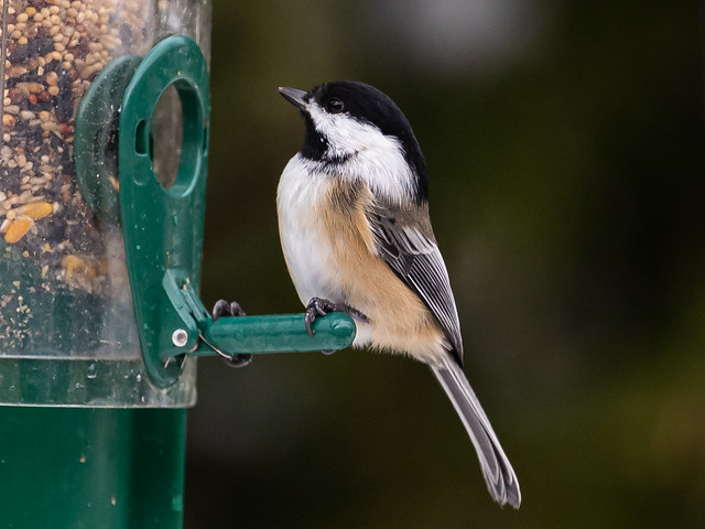 Chickadee - Playing with focus settings