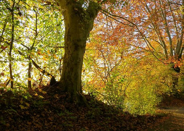1H/1km : Rideau de feuilles d'automne au soleil. 🍁🍂🌞