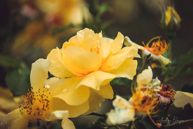 Yellow Rose of Texas - Tyler Rose Garden