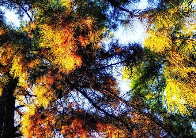 El sol poniente ataca a pinos y robles (Yosa)