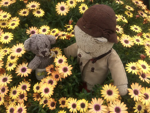 Paddington and Scout in a Sea of Yellow Cape Marguerites