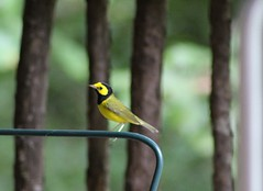 Hooded warbler (male) 8/28/20