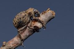 Brachyceridae, Brachycerus sp.