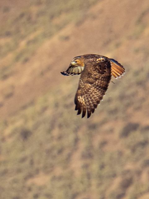 Red Tailed Hawk, Boise, Fall 2020
