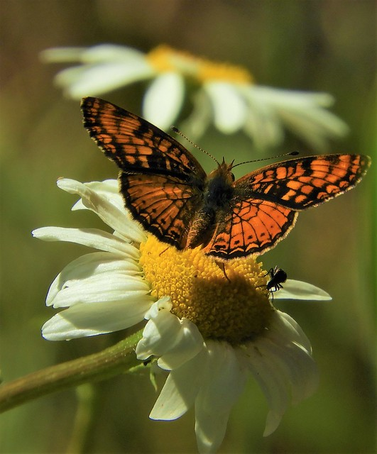 California Crescent Butterfly on Daisies!