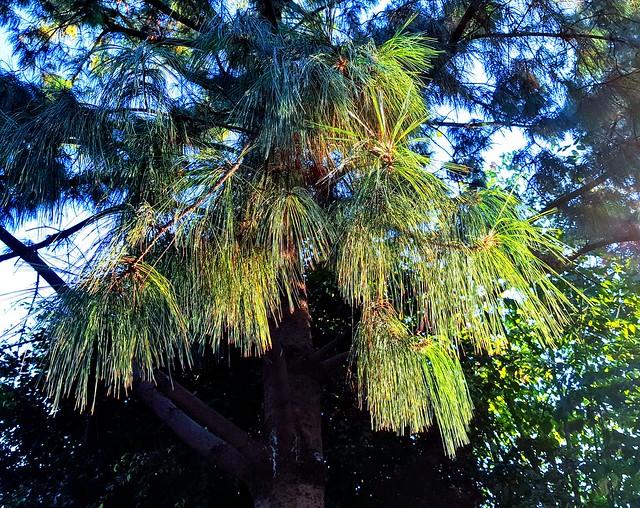 Cuando anoche se estremecen los pinos y no es de frío (Benedetti)
