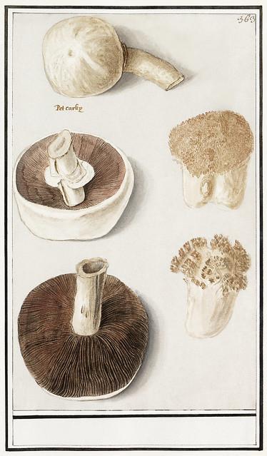 Common meadow mushroom, Agaricus campestris (1596–1610) by Anselmus Boëtius de Boodt. Original from the Rijksmuseum. Digitally enhanced by rawpixel.