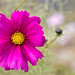 Bright Pink Cosmos (I), 11.23.20