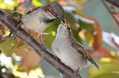 Sparrow Chick Feeding