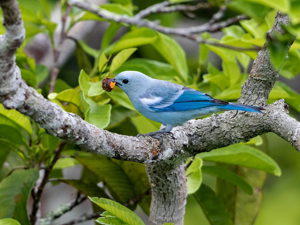 Blue-gray Tanager/Sanhaçu-da-amazonia/Tangara azuleja  (Thraupis episcopus)