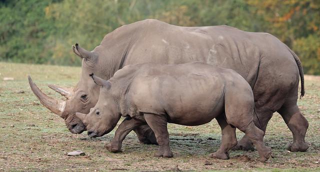 white rhino Burgerszoo 9K2A6183