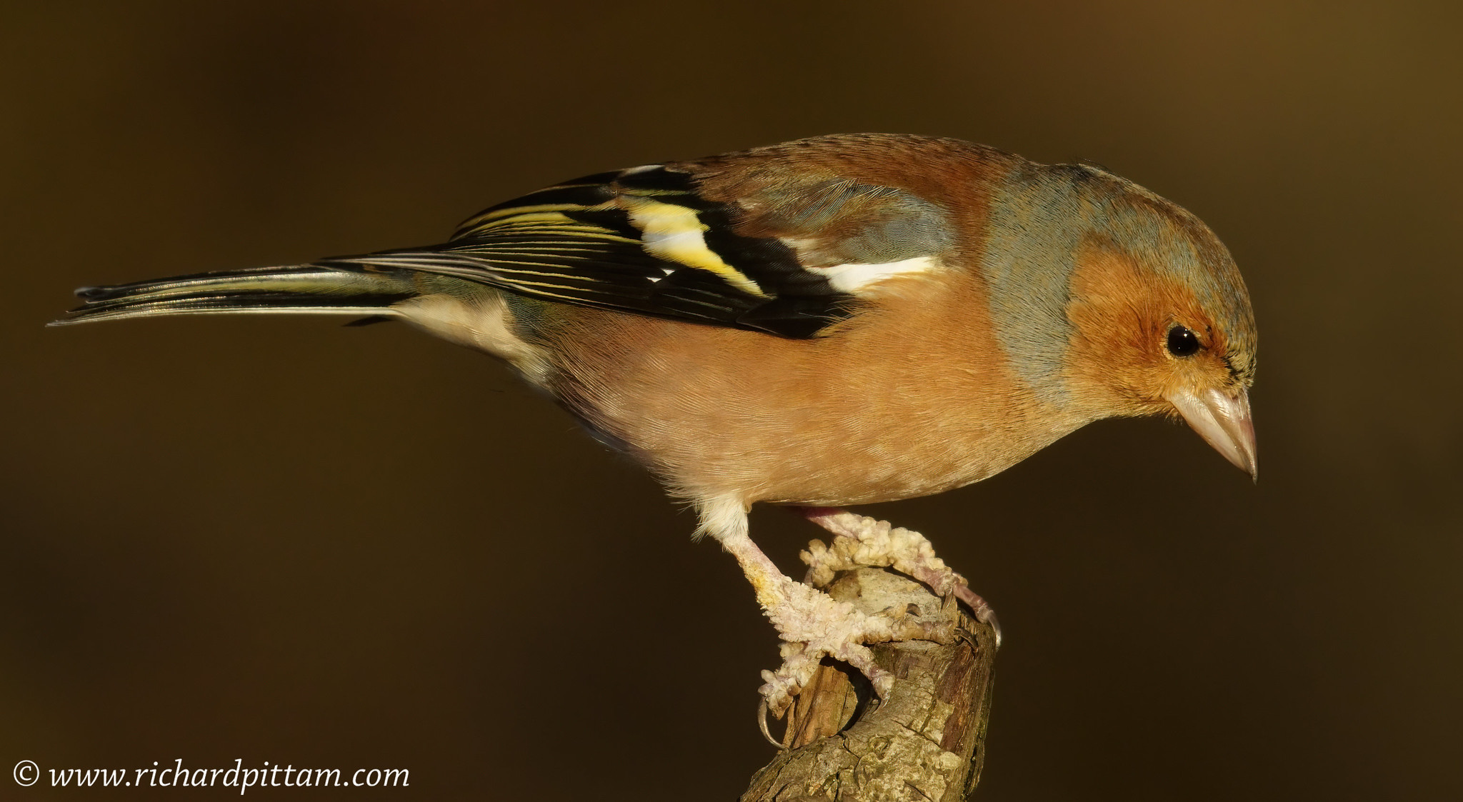 Chaffinch - with foot disease