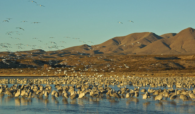 Morning at Bosque del Apache National Wildlife Refuge: Sandhil Cranes in the water, Snow Geese in the air, and Chupadera Mountains in the background. New Mexico, USA.