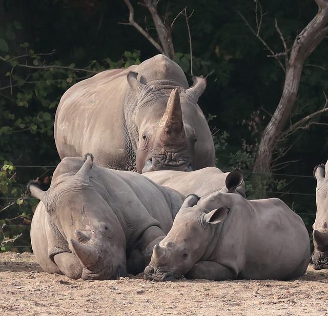 white rhino Burgerszoo 9K2A6896