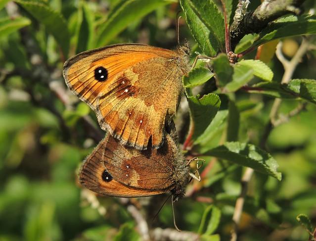 Gatekeeper (Pyronia tithonus) Pair
