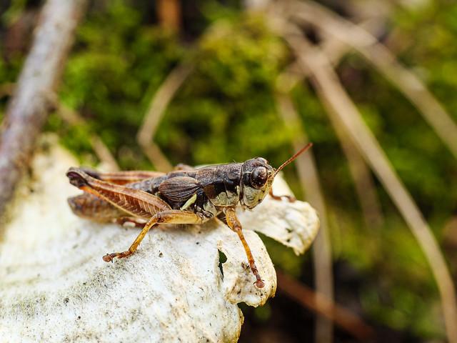 Northern Grasshopper 1