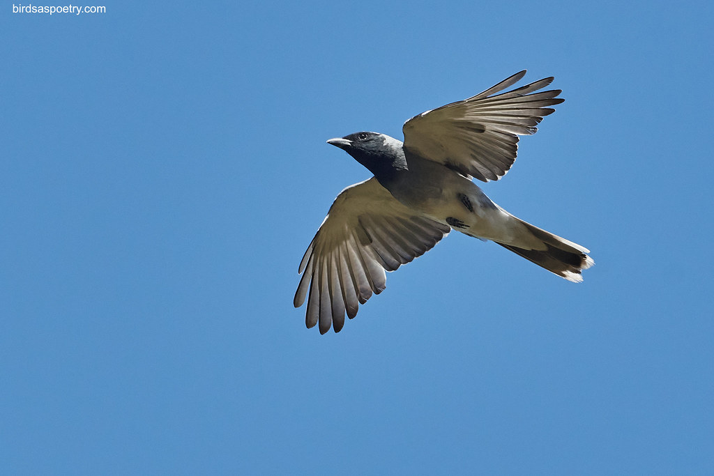 Black-faced Cuckooshrike: Extended