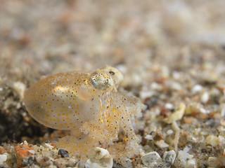 white-spotted octopus - Juvenile - Callistoctopus macropus