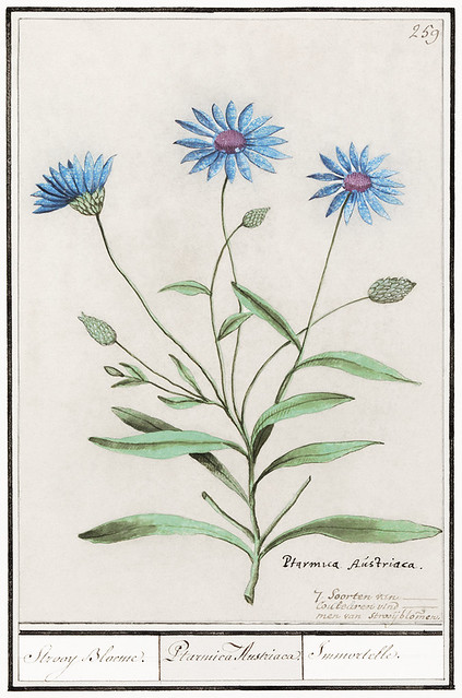 Blue straw flower, Catananche caurulea (1596–1610) by Anselmus Boëtius de Boodt. Original from the Rijksmuseum. Digitally enhanced by rawpixel.