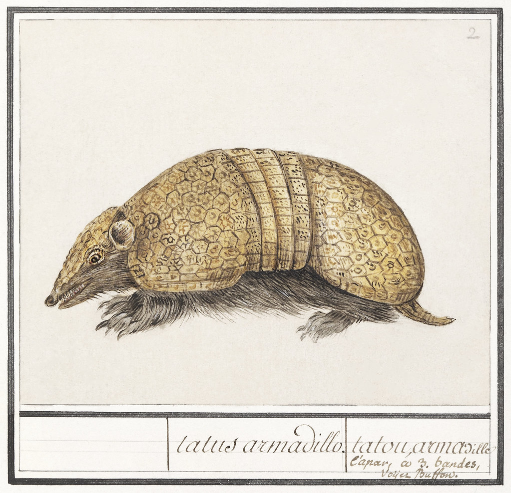 Bullet armadillo, Tolypeutes matacus (1596–1610) by Anselmus Boëtius de Boodt. Original from the Rijksmuseum. Digitally enhanced by rawpixel.