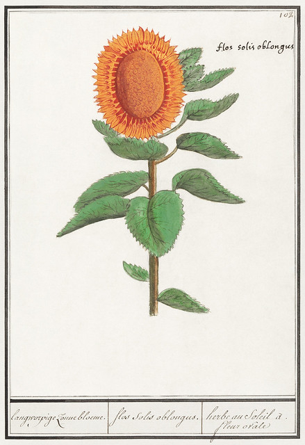 Sunflower, Helianthus annuus (1596–1610) by Anselmus Boëtius de Boodt. Original from the Rijksmuseum. Digitally enhanced by rawpixel.